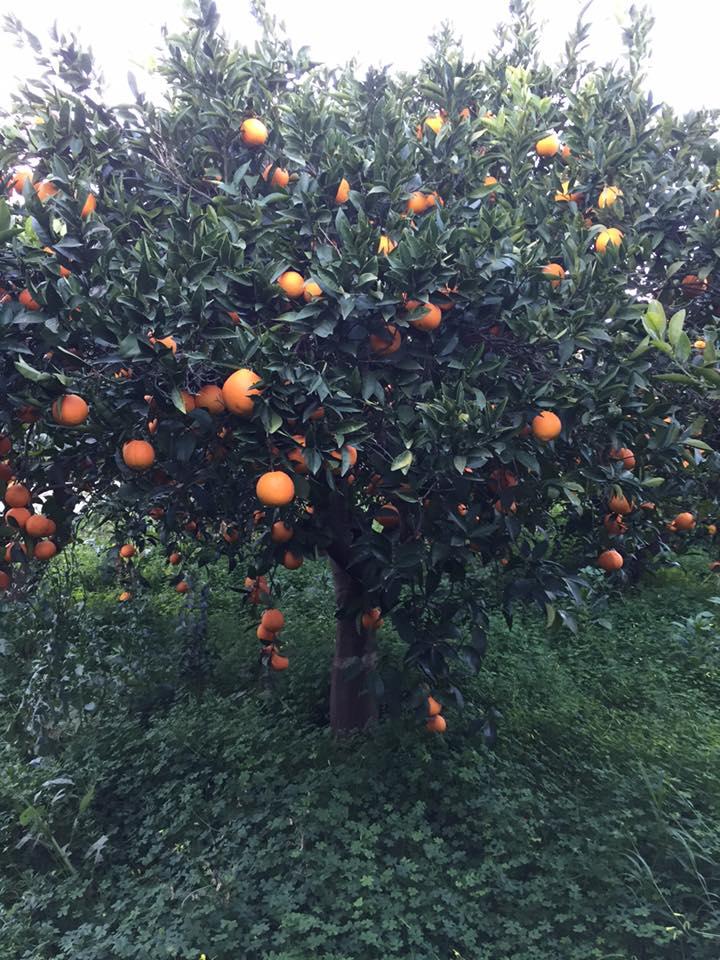 Πορτοκαλιά